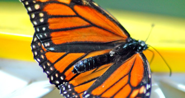 Borboletas monarcas são cheia de majestade