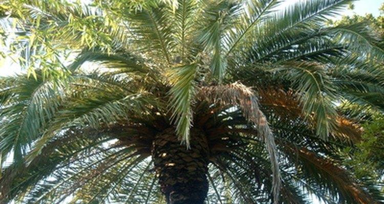 Las palmeras altas sobrecargadas.