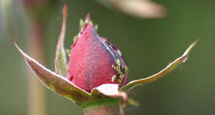 Áfido en bulbo de rosa.