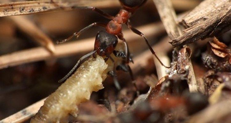 As lava-pés comem lagartas