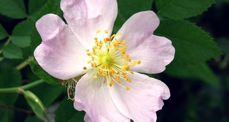Los rosales grandiflora son una combinación de los híbridos y la floribunda.