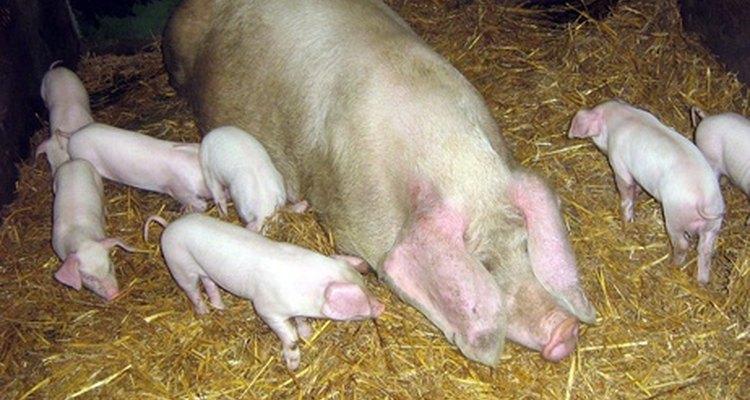 Suínos adultos que tiveram mais do que duas ninhadas são conhecidas como porcas