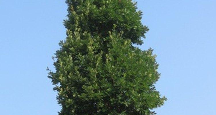 Las plantas siempre verdes se mantienen verdes en invierno.