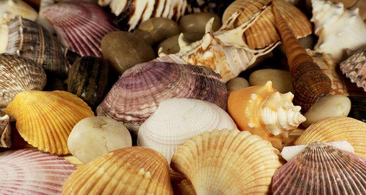 Conchas ficam bonitas em um aquário marinho, mas devem ser limpas apropriadamente