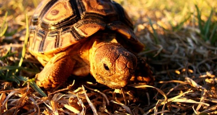 A lenta, mas determinada tartaruga vence a corrida contra a lebre