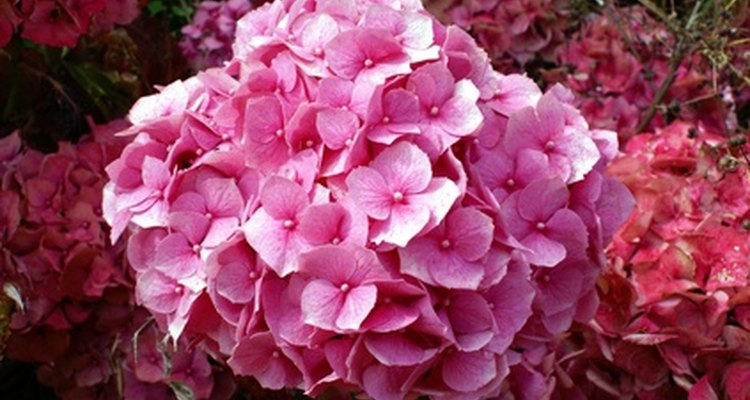 Bacterial and fungal infections may cause hydrangea leaves to turn black.
