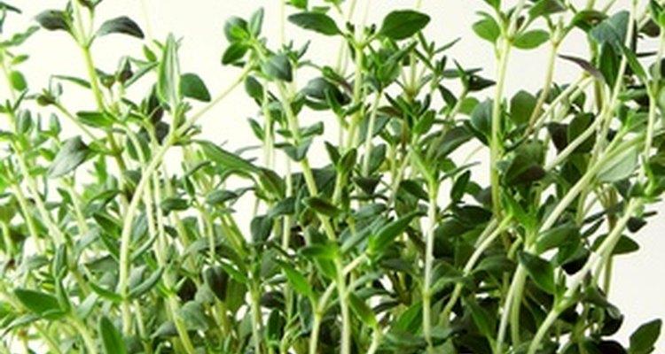 O tomilho e outras ervas podem ser trituradas finamente para liberar mais sabor
