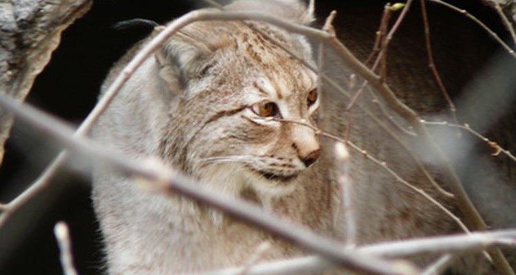 Los gatos monteses están en peligro de extinción.
