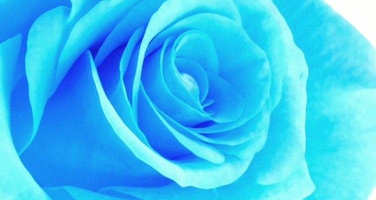 En el pasado, las rosas azules se hicieron usando un colorante azul en las rosas blancas.