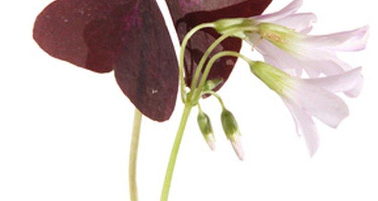 El foliaje del trébol emerge en tonos de verde, violeta y rosa.