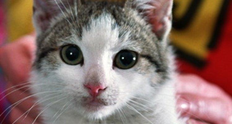 Os gatos machos podem ter problemas testiculares