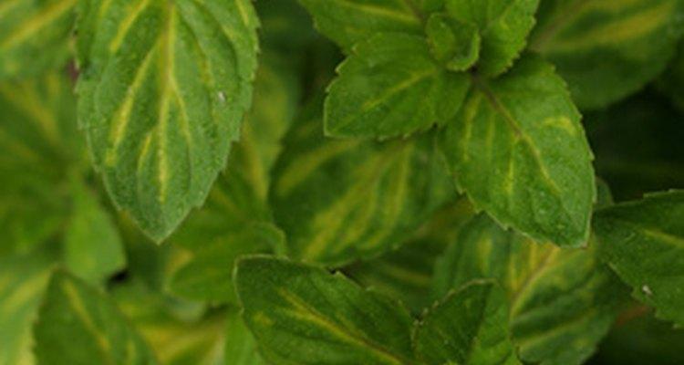 Folhas de menta deixam um ótimo gosto na boca, além de trazer benefícios à saúde