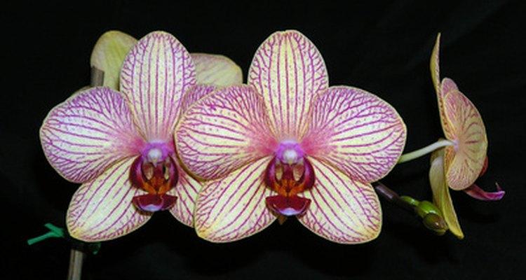 """A beleza exótica e as cores das orquídeas parecem dizer """"eu ficaria linda na sua mesa de centro"""""""