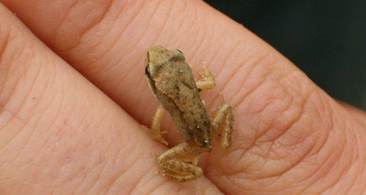 Un renacuajo es llamado rana joven.