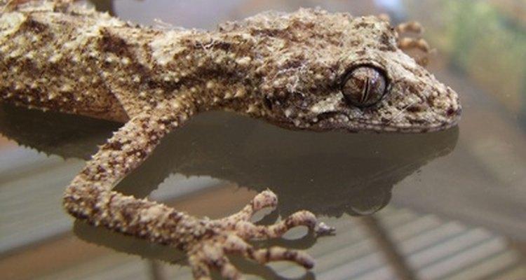 Las tiendas de mascotas venden una variedad de geckos diferentes.