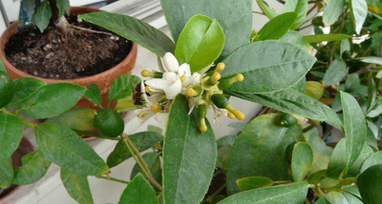 Florescimento do limoeiro com frutas