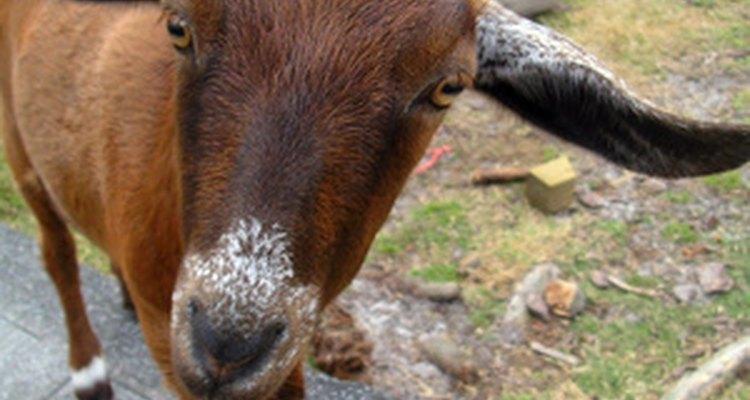 La leche de cabra se utiliza en la fórmula del cachorro.