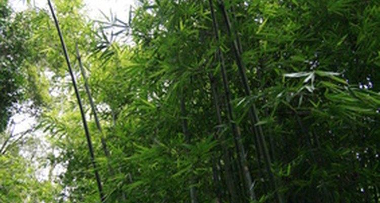 As raízes de bambu crescem em grumos conhecidos como torrões