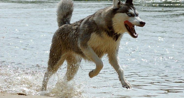 La fuerza de mordida no es tan fuerte cuando los perros juegan como cuando se están defendiendo.