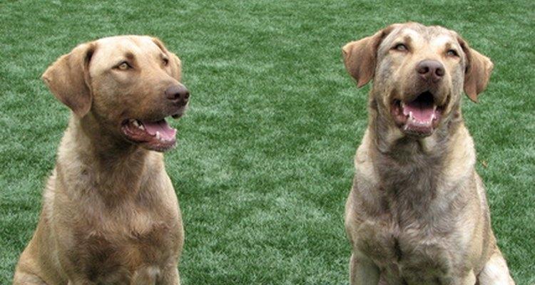 Las erupciones negras en los perros pueden ser un síntoma de muchas enfermedades.