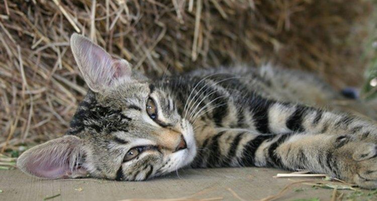A castração é a única prevenção para problemas testiculares em gatos