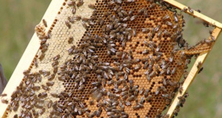 La miel más oscura es más sabrosa, mientras que la más clara es más suave.