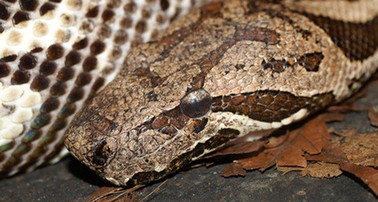 Las boas constrictoras tiene marcas en su piel para camuflaje.