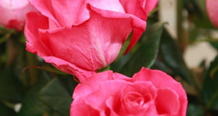 Los rosales de té híbrido tienen tallos largos y flores de gran tamaño.