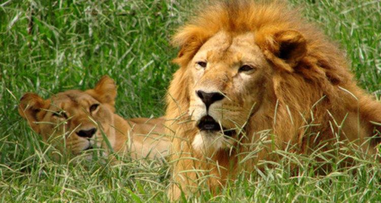 A maioria dos leões vive na África central atualmente