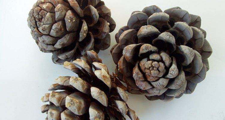 Cada escama en el cono contiene una semilla.