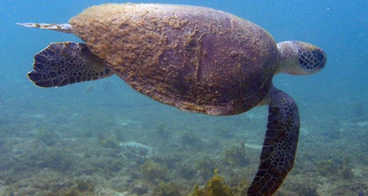 Las extremidades largas y planas ayudan al movimiento de las tortugas marinas en el agua.