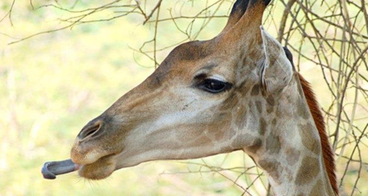 Las jirafas pueden tener lenguas negras.