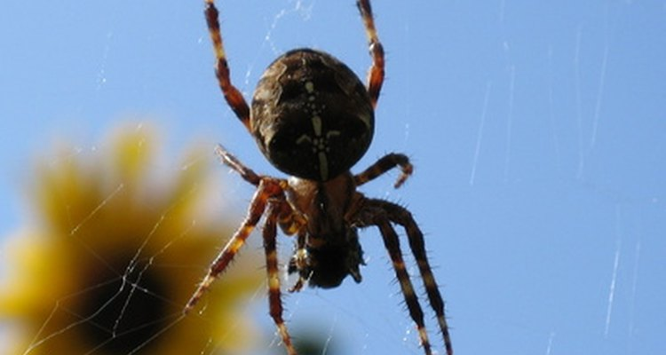 Numerous spiders are common to England.