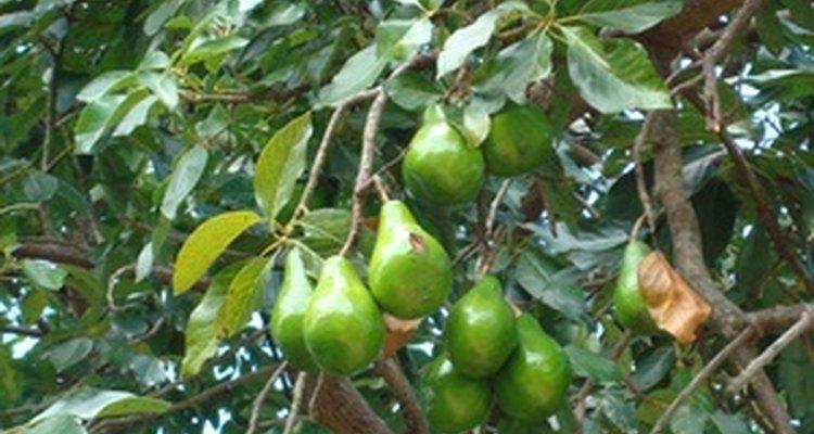 Los árboles de aguacate son susceptibles a los problemas de chinches de encaje.