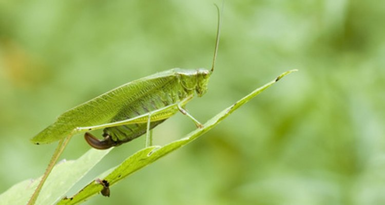 Katydids are related to crickets and grasshoppers.