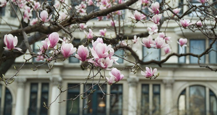 Magnolia trees have large fragrant flowers.
