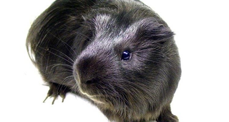 Os porquinhos-da-índia podem ser contaminados pelos ácaros causadores da sarna