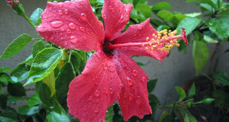 Una planta de hibiscos.