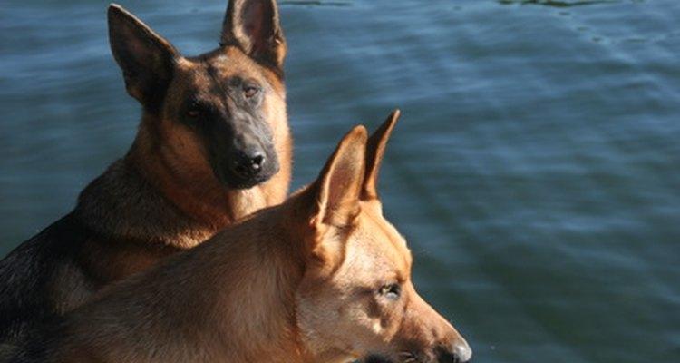 Los perros pueden oír frecuencias de sonido más altas que los humanos.