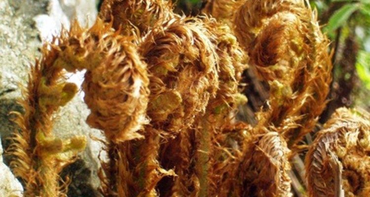 De acordo com a Michigan State University Department of Forestry, Asulame é eficaz para controlar o crescimento de samambais durante dois ou mais anos.