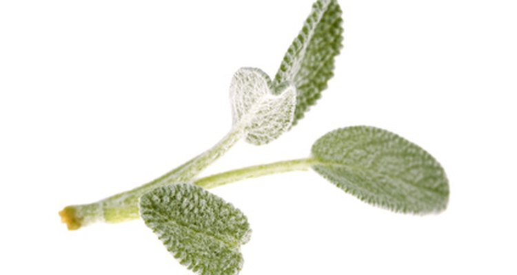 Pinch off a sprig of sage to use with poultry or fish.