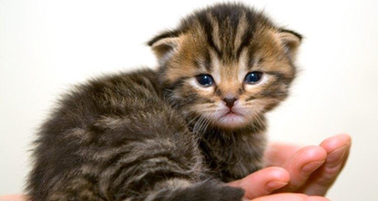 Los gatitos que tengan los ojos cerrados y la nariz bloqueada no serán capaces de alimentarse.