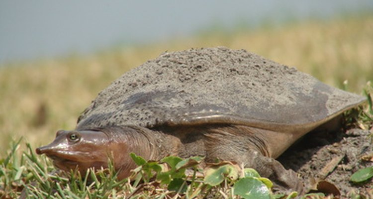 Soft-shell turtle: male or female?