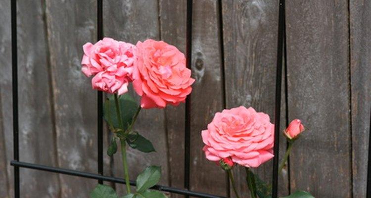 Controla tus rosales de cerca y rutinariamente para detectar una infección antes de que devaste tus plantas.