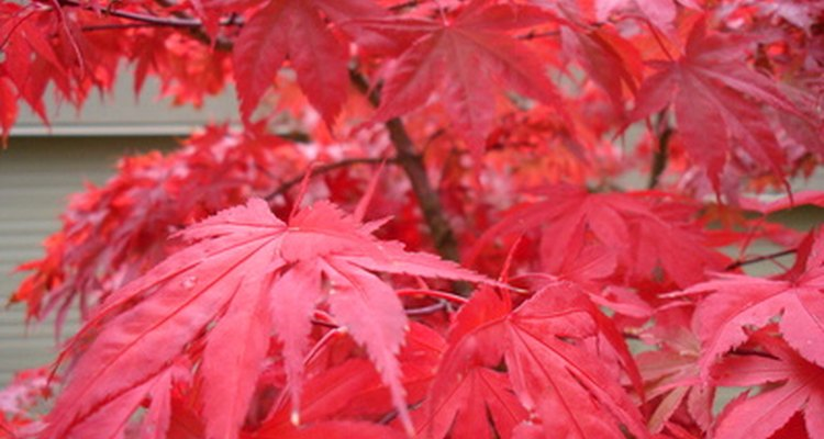 Red foliage of Japanese maple trees represents the onset of autumn.