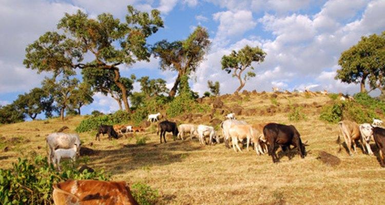La población africana de elefantes se ha reducido a un ritmo alarmante debido principalmente a la demanda de marfil.