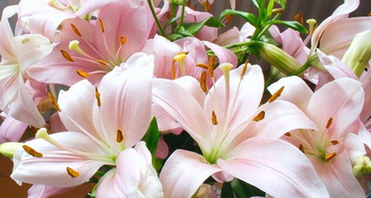 Lírios asiáticos estão disponíveis em vários tons de branco, rosa e vermelho