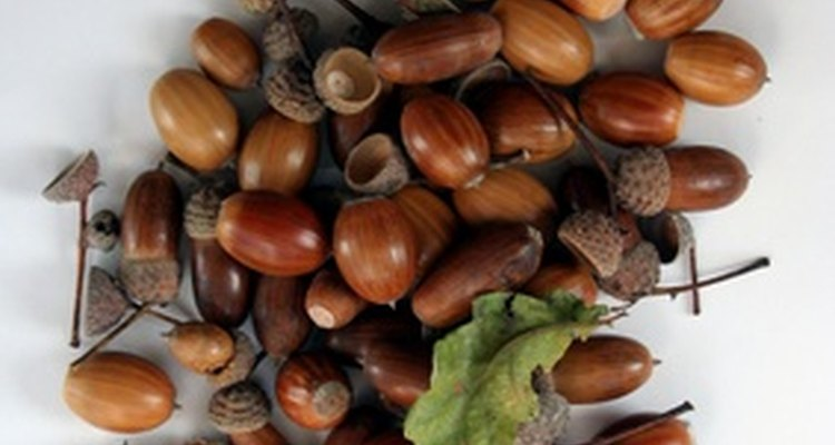 Picking up acorns is an essential part of lawn maintenance.