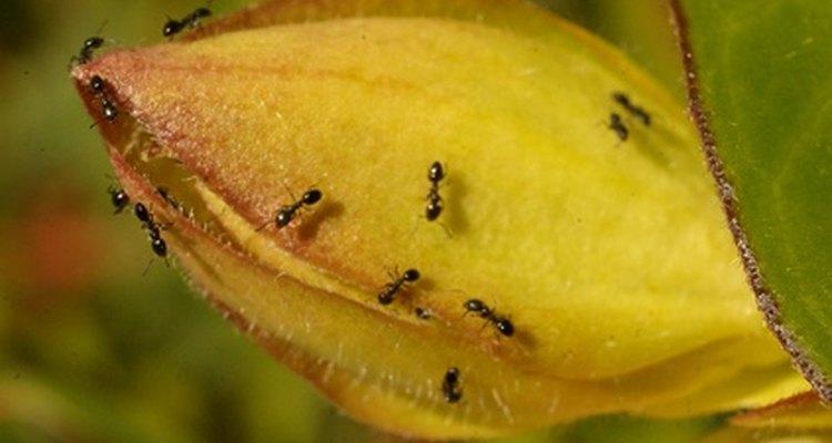 No permitas que las hormigas invadan tu hogar.