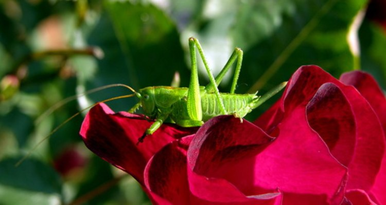 The grasshopper signifies good luck in Japan.